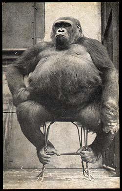 Young Phil the Gorilla with Phil Carroll, a globetrotting ...  |Bushman Gorilla Death